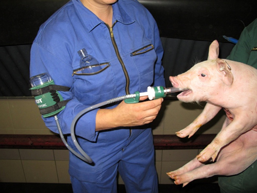 More swine farmers to benefit from salmonella vaccine now under Ceva