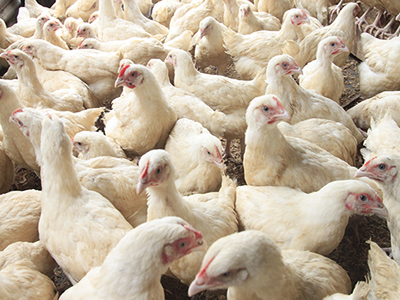 Kemin: COZANTE for coccidiosis management in broiler production - a university trial