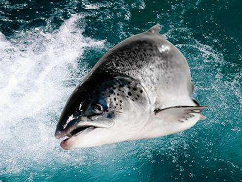 Norway salmon prices pressured by high export volume growth