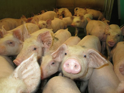 What if live yeast could help ease the issues of weaning in piglets?