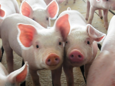 Short- and long-term effects of weaning age on pig innate immune status