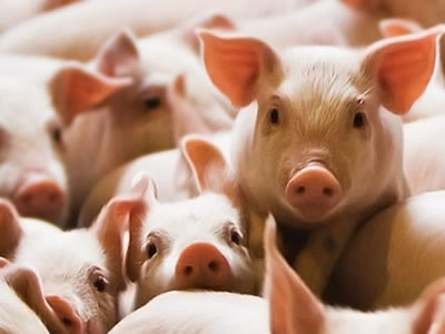 Impact and management of heat stress in swine: an underestimated issue
