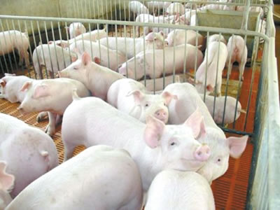 African swine fever to decimate China's 2019 pig population by 13%--report