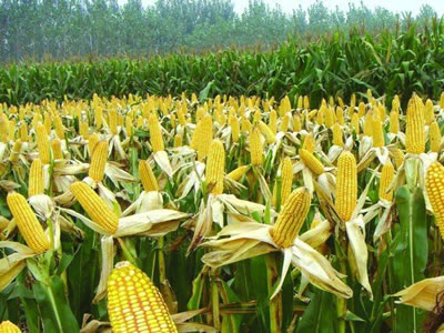 China Corn Weekly: Market stays soft with slower price falls (week ended Mar 22, 2019)