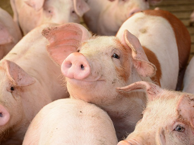 Philippine swine and cattle production rise in Q1