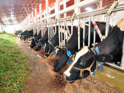Cattle that overconsume soybeans can suffer from ammonia toxicity, says US university