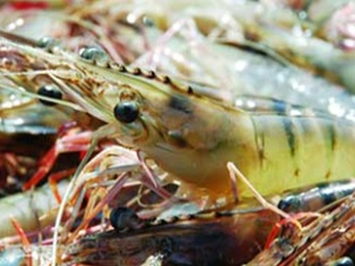 Vietnam shrimp exports resume slump after recovery in July; inventories high