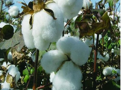 FDA approves ultra-low gossypol cottonseed for animal feed