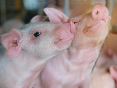 Coated calcium butyrate protects weaning pigs from diarrhea